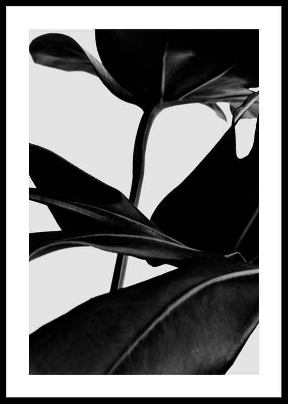 Ficus Black-0