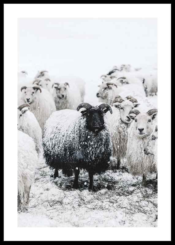 Winter Sheep-0