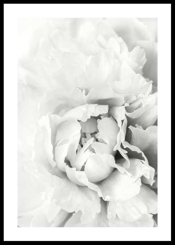 White Rose No1