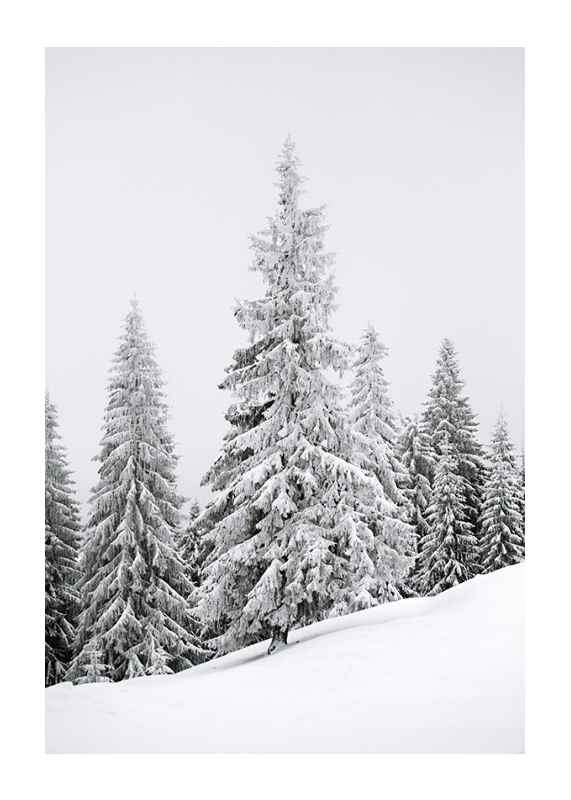 Spruce In Winter-1