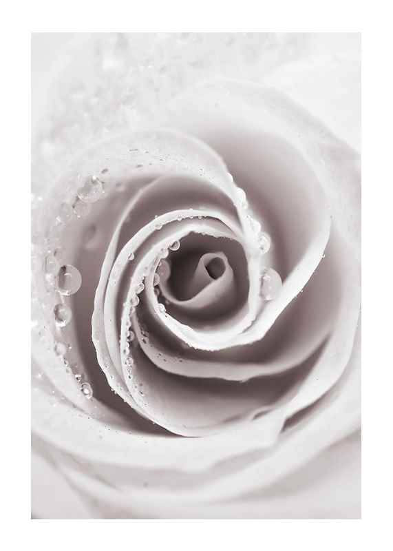 Bright Pink Rose No1-1