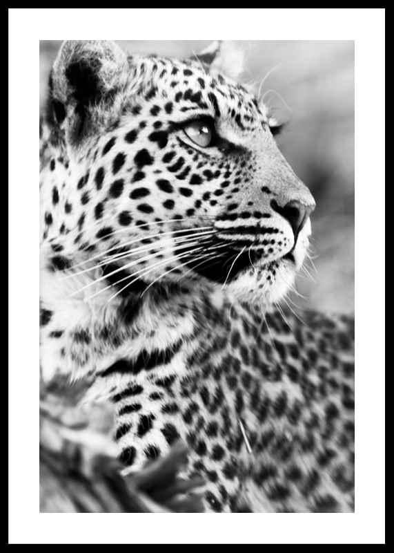 Leopard B&W-0