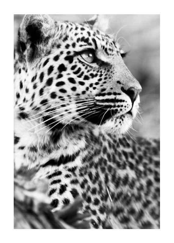 Leopard B&W-1