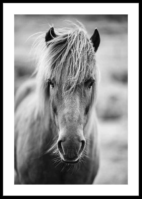 Icelandic Horse B&W