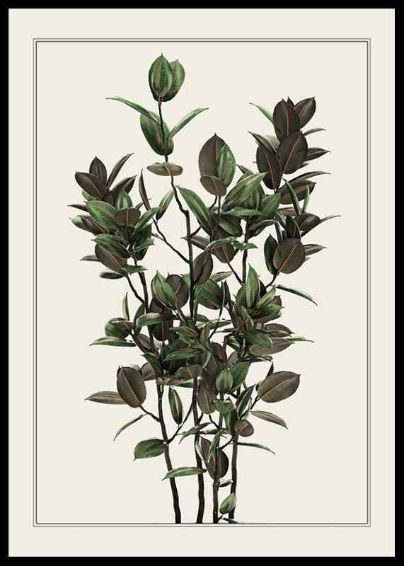 Ficus Robusta-0