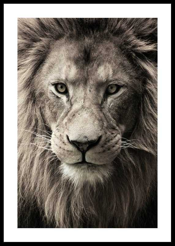 African Lion-0