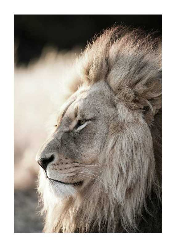 Male African Lion-1