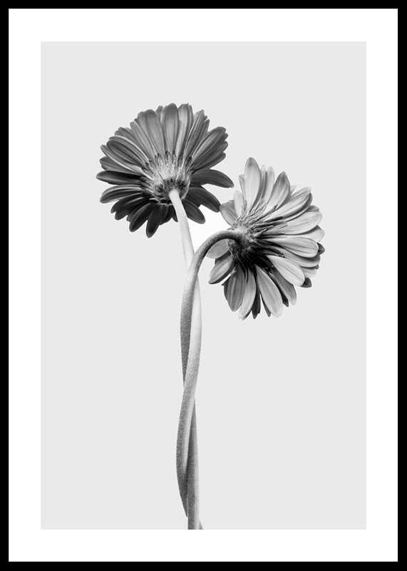 Daisies Intertwined-0