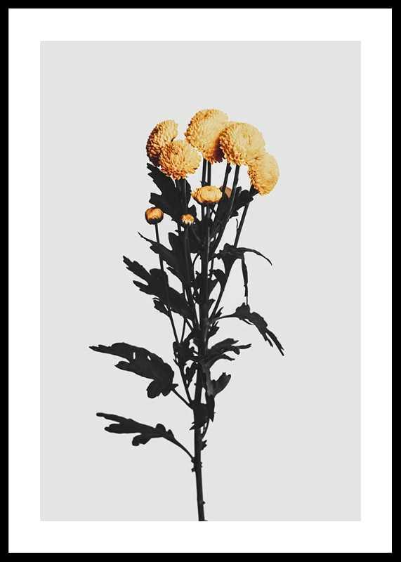 Chrysanthemum No2-0